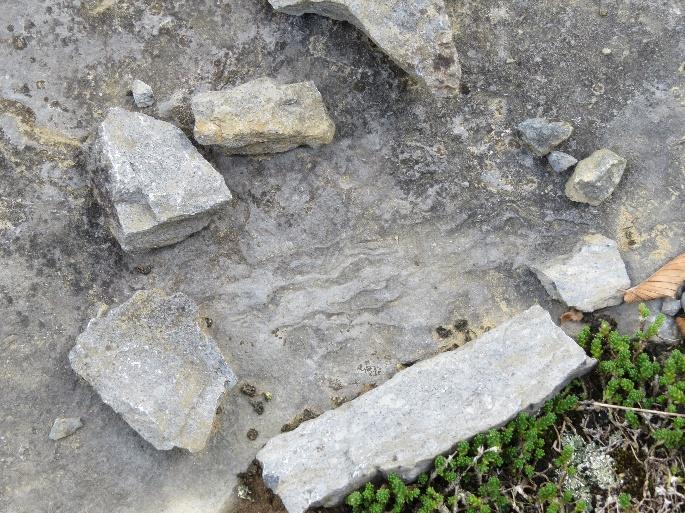 Stromatoporoids? Fossil in bedrock, Fisk Quarry Preserve, La Motte, VT