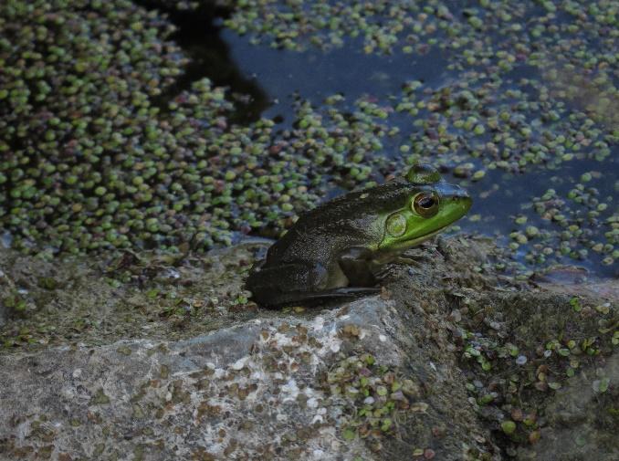 The frog's life, Fisk Quarry Preserve, La Motte