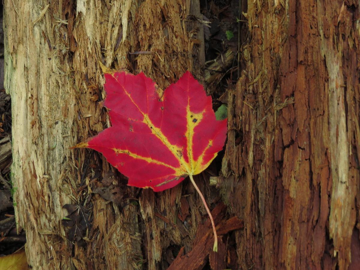 Red leaf, Pic Champlain,Parc National du Bic, Quebec