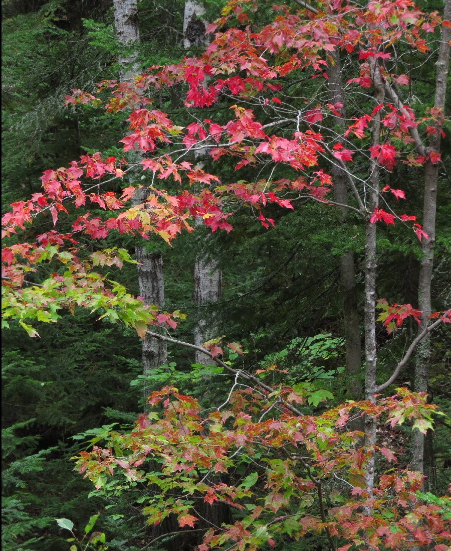 The forest is changing colors, Pic Champlain du Bic, Quebec