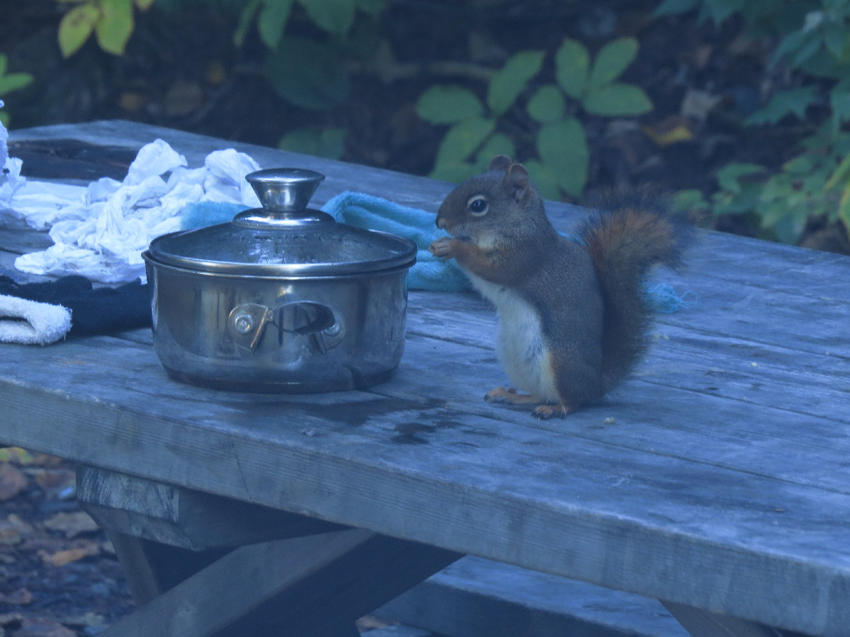 Squirrel interested in sharing my breakfast chocolate, camping Parc National du Bic, Quebec
