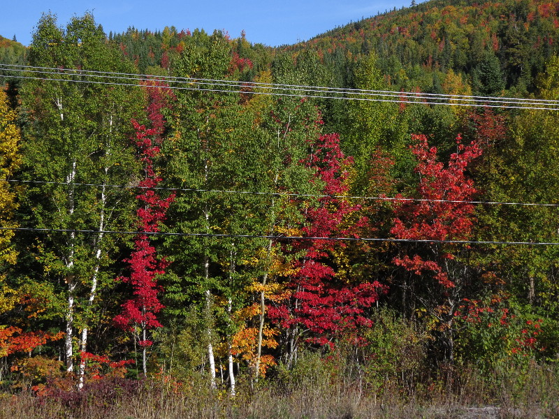 Forests turning red in east Gaspe, early October