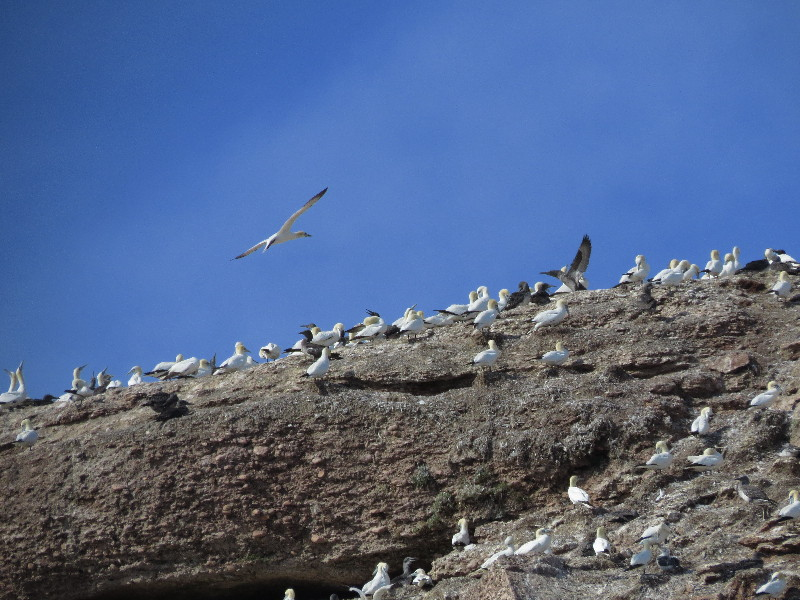 Gannets on Perce rocks, Bonaventure Island Boat Tour, Gaspe Peninsula, QC