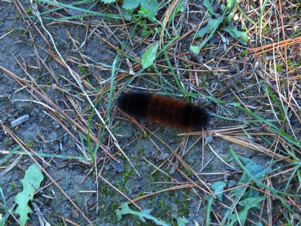 Caterpillar, Wellesley Island Nature Center, NYS