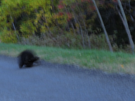Porcupine crossing the road as the sun sets, Forillon National Park, QC. Spped limit 30 km/h