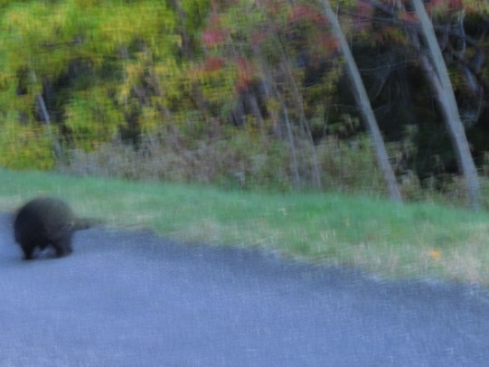Porcupine crossing the road as the sun sets, Forillon. Spped limit 30 km/h