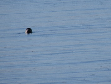 A seal (phoque) swimming in protected bay, Les Anses, Parc National du Bic trails