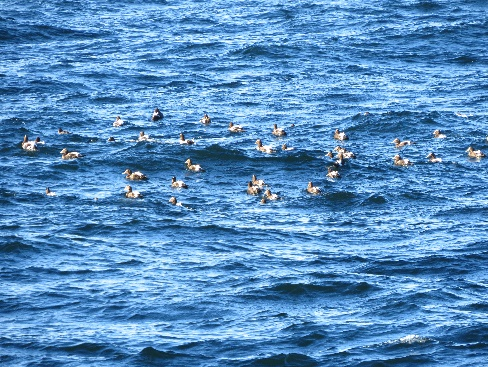 Seabirds in ocean , Route 132, Gaspe Peninsula