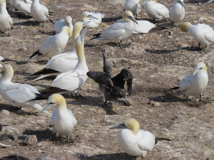 Gannet fledgling and adult, Des Colonies, Bonaventure Island, Gaspe Peninsula, QC, Canada