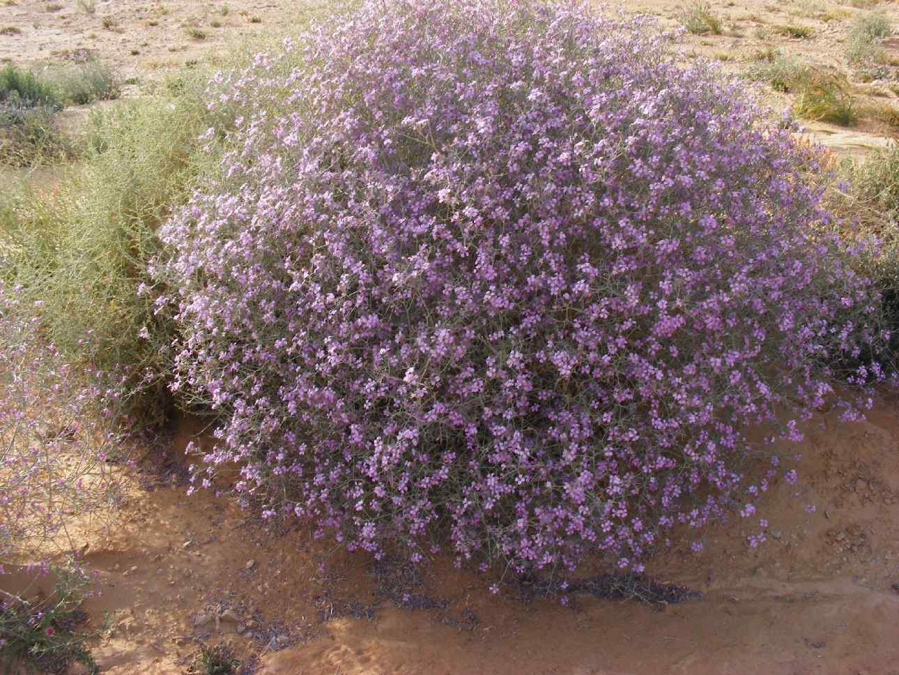 A purple flower ball in extreme desert, 2013 floods aftermath, Arava