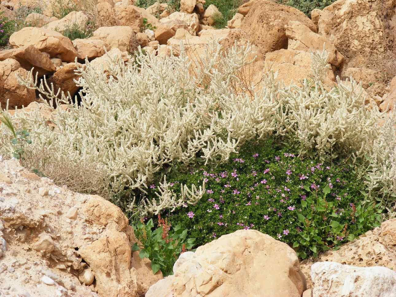 A desert nook full with blooming flowers following Arava 2013 floods