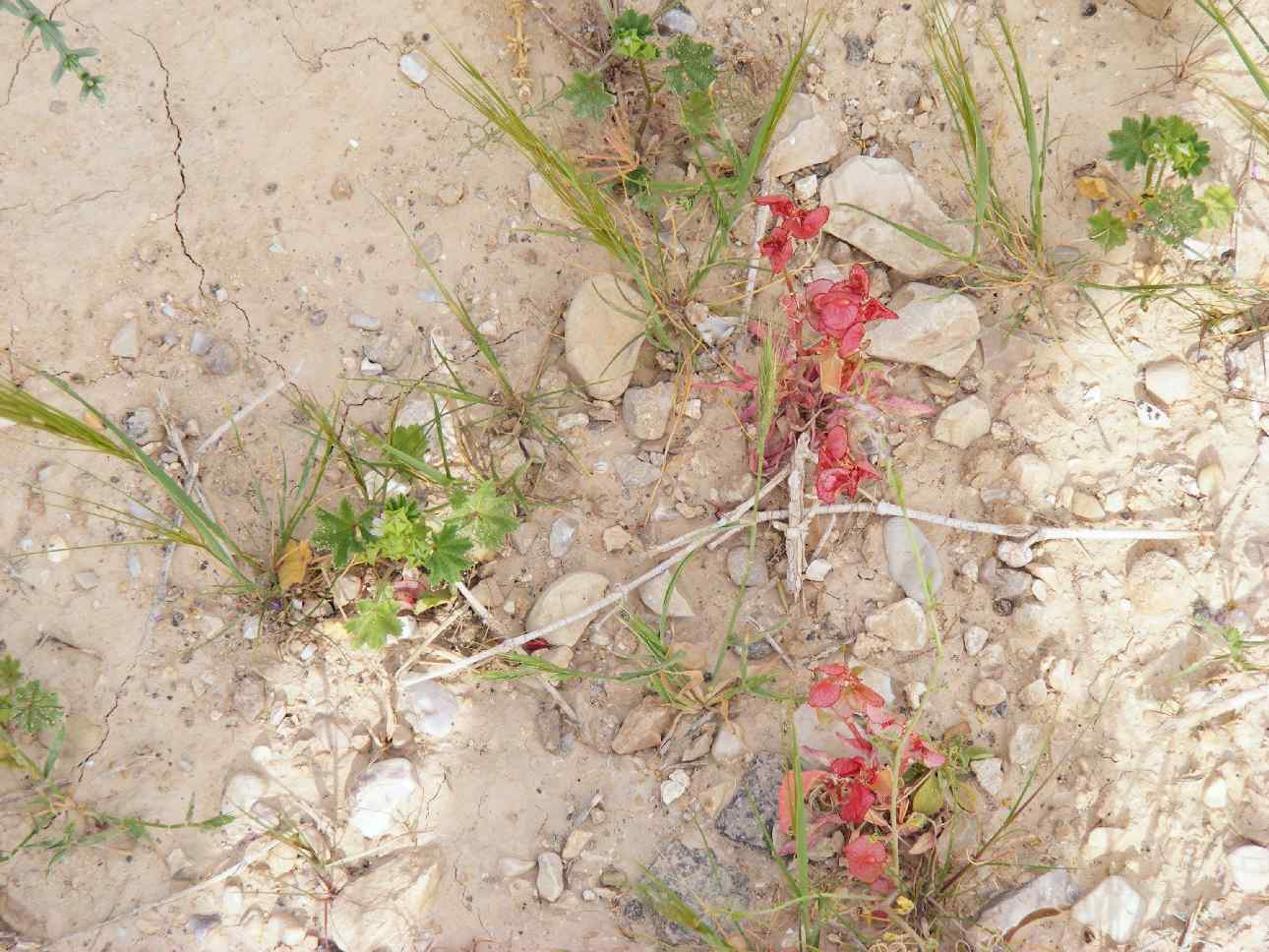 Blooming in extreme desert following 2013 floods, Arava