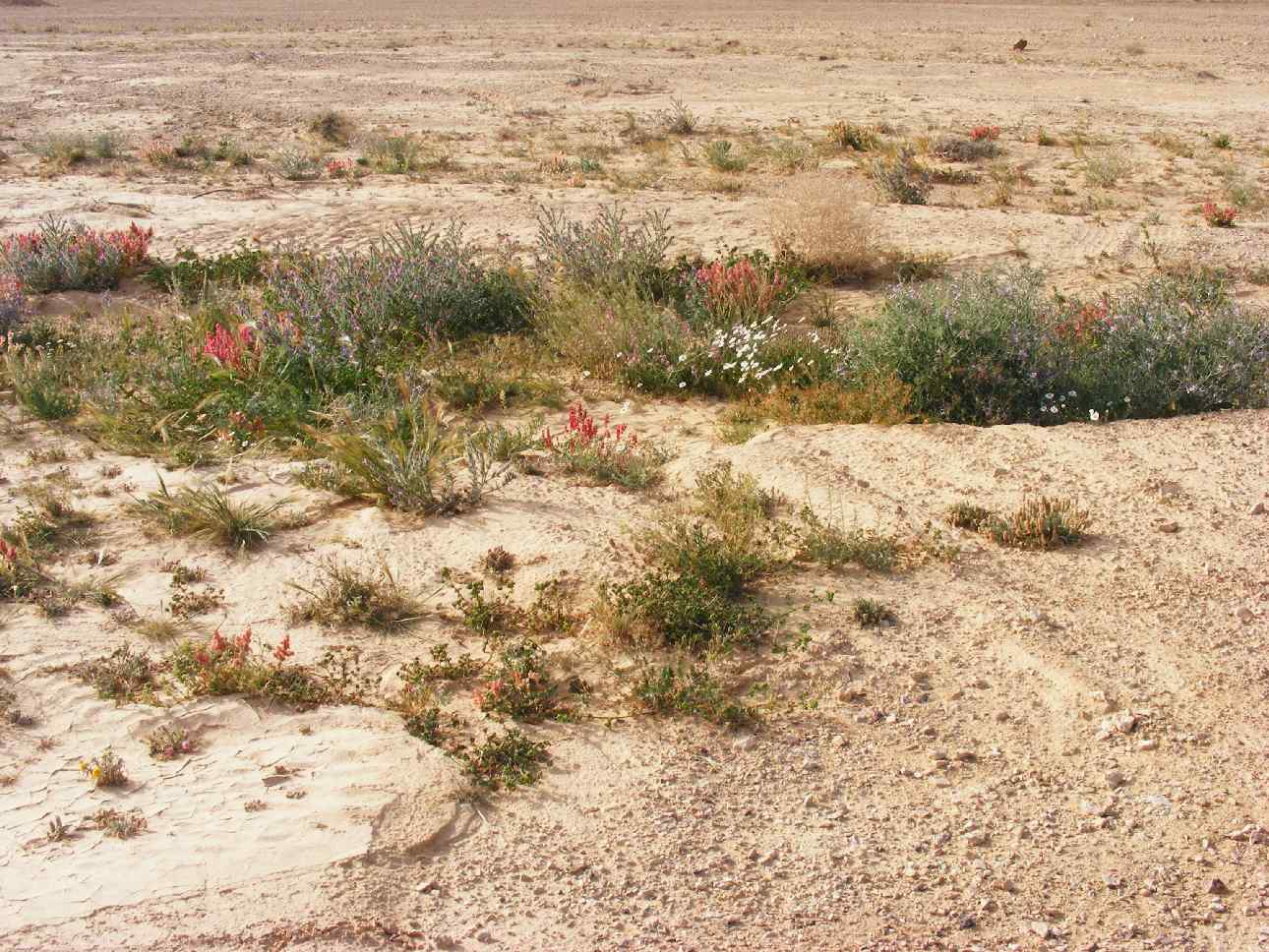 Blooming in the low spots, following 2013 Arava floods