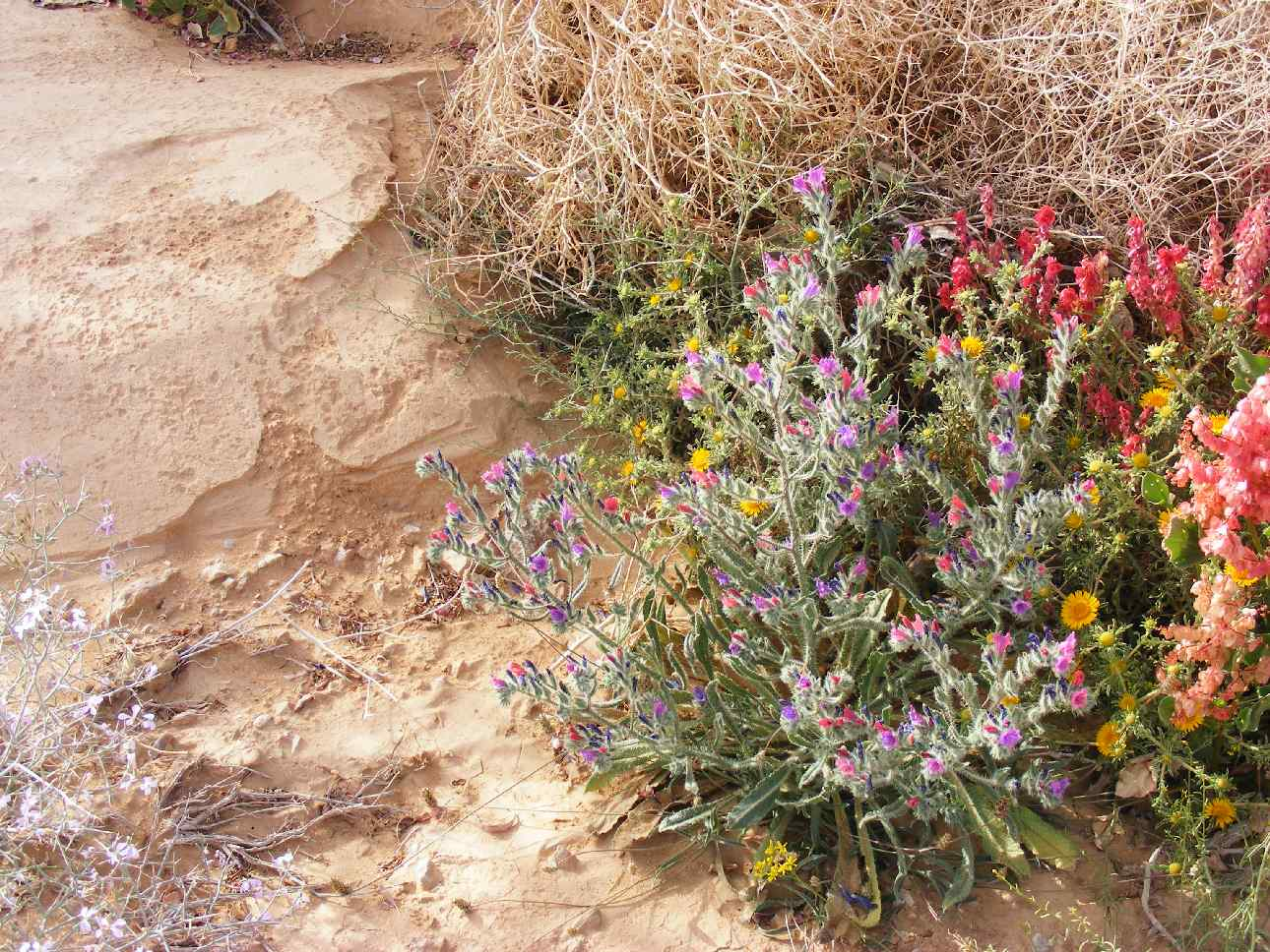 Extraordinary bloom in hard places - Arava 2013, following the floods