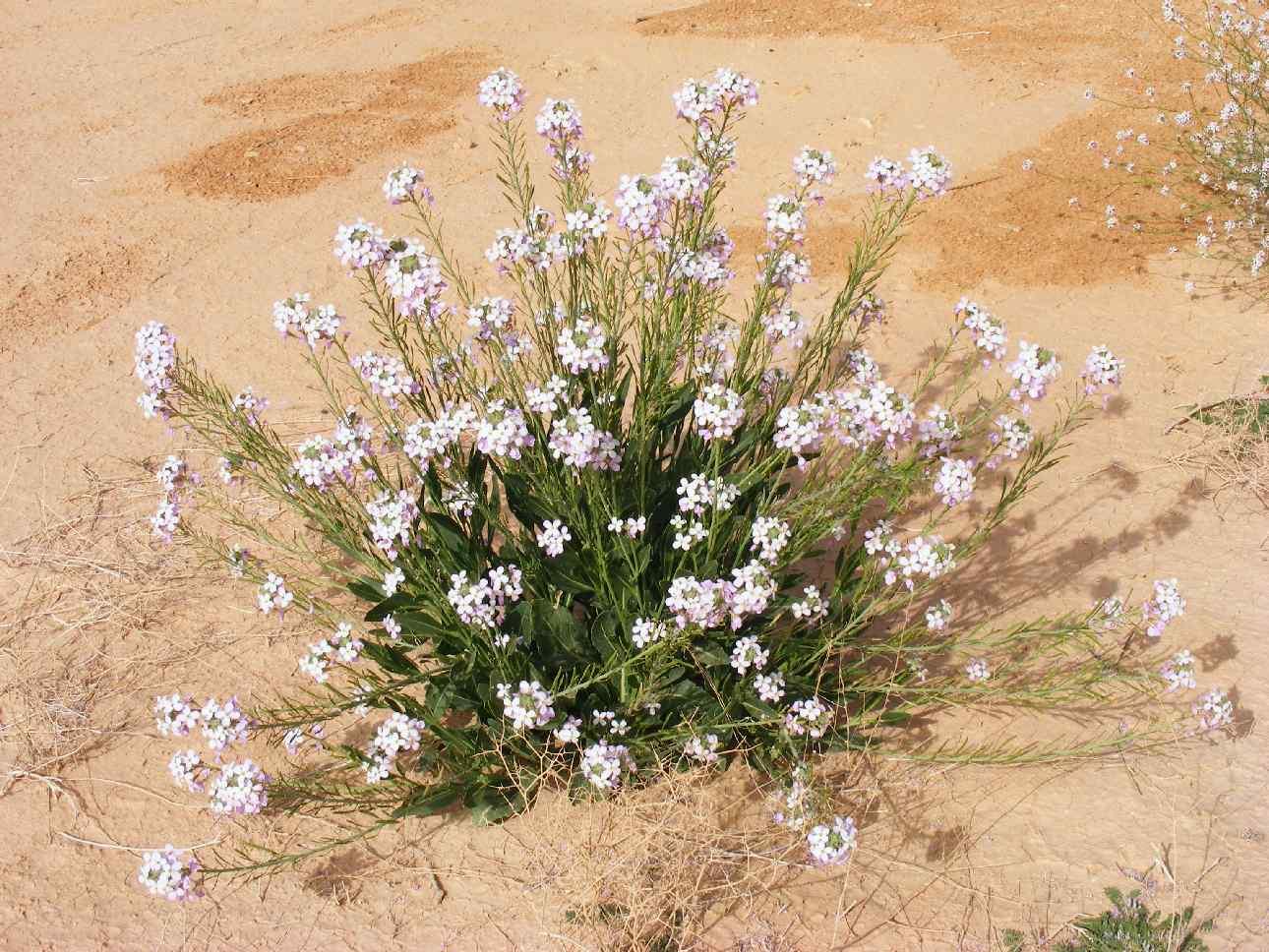 Desert Flower exuberance, Arava 2013, following floods