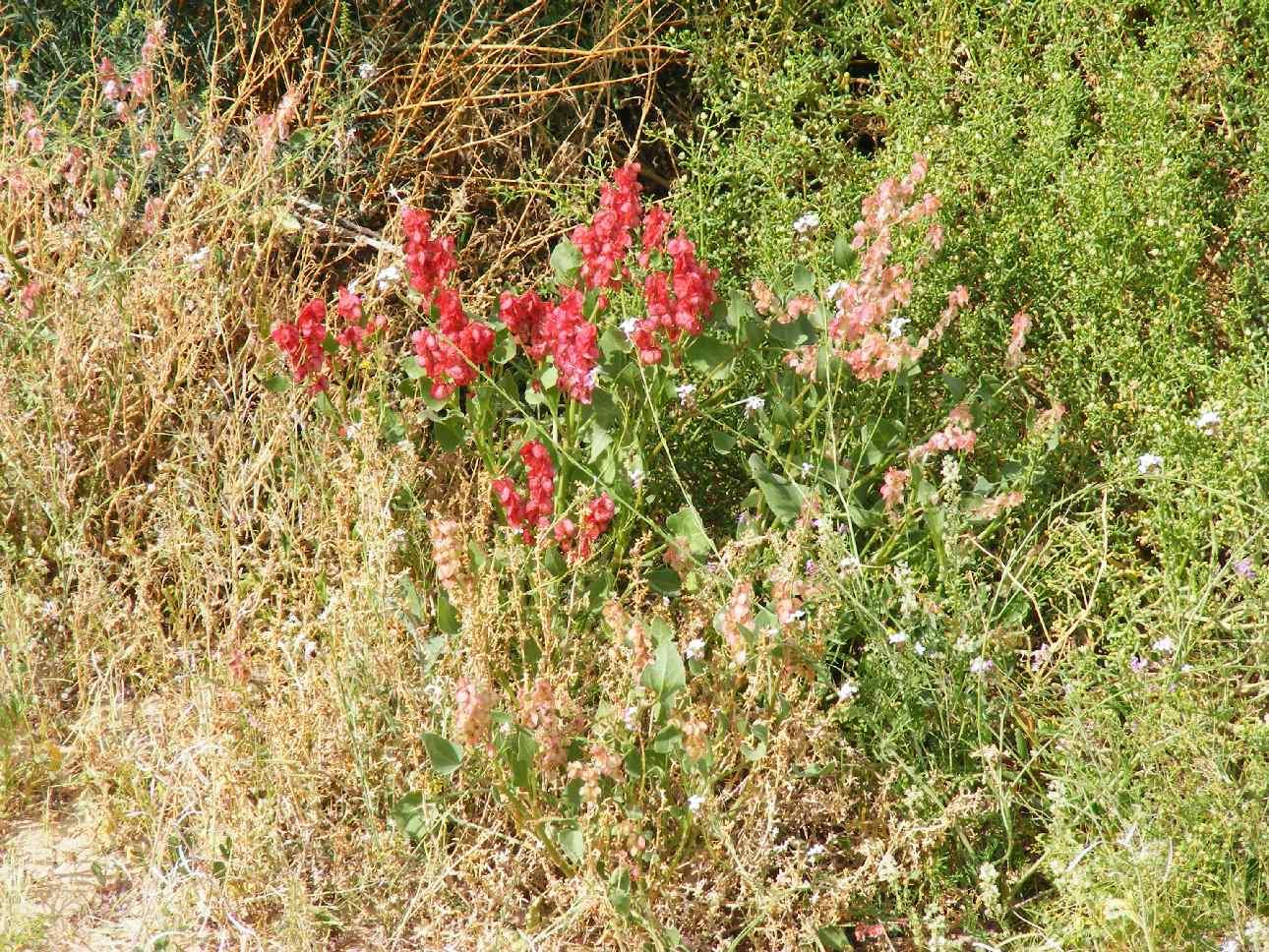Desert bloom emulating northern meadow, Arava 2013