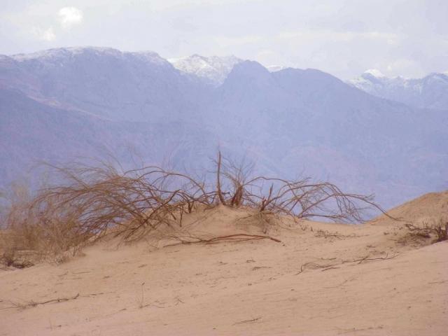 Desert bush against snowy Edom mountains, Arava 2013