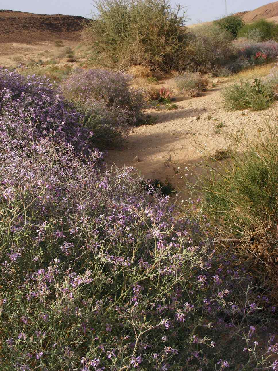 Desert landscape in bloom, Arava 2013