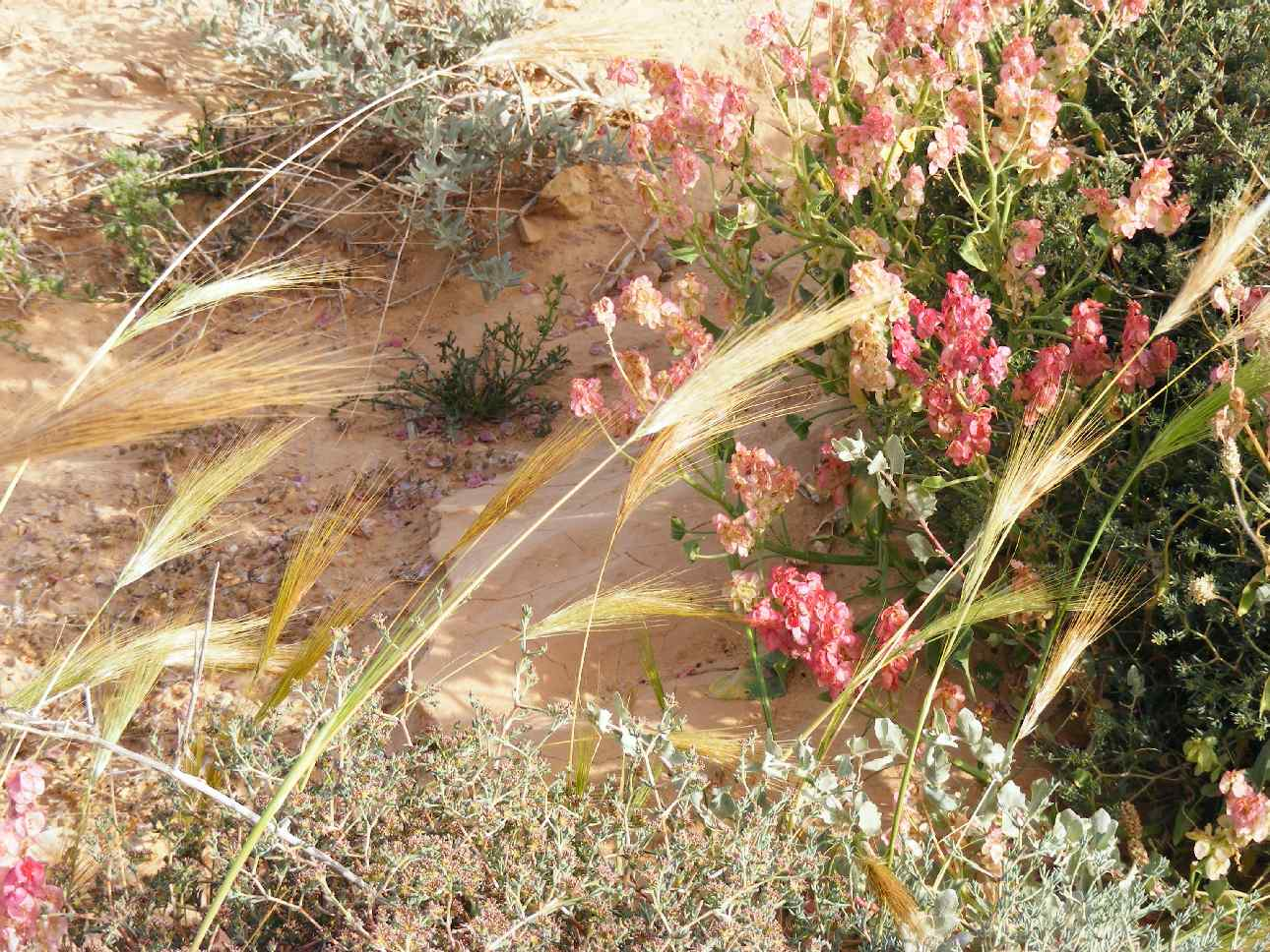 Grasses and flowers blooming in Arava desert following floods