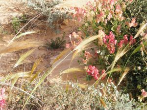 Grasses and flowers blooming in the Arava extreme desert