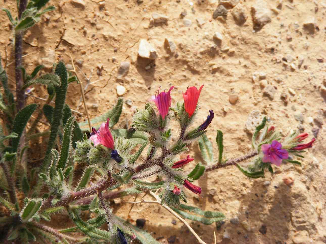 Happy desert following rains, Arava 2013