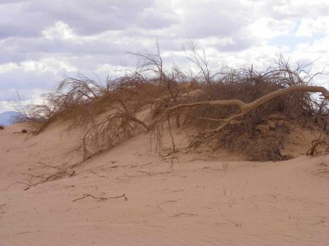 Desert plants holding fast to the dune, Arava