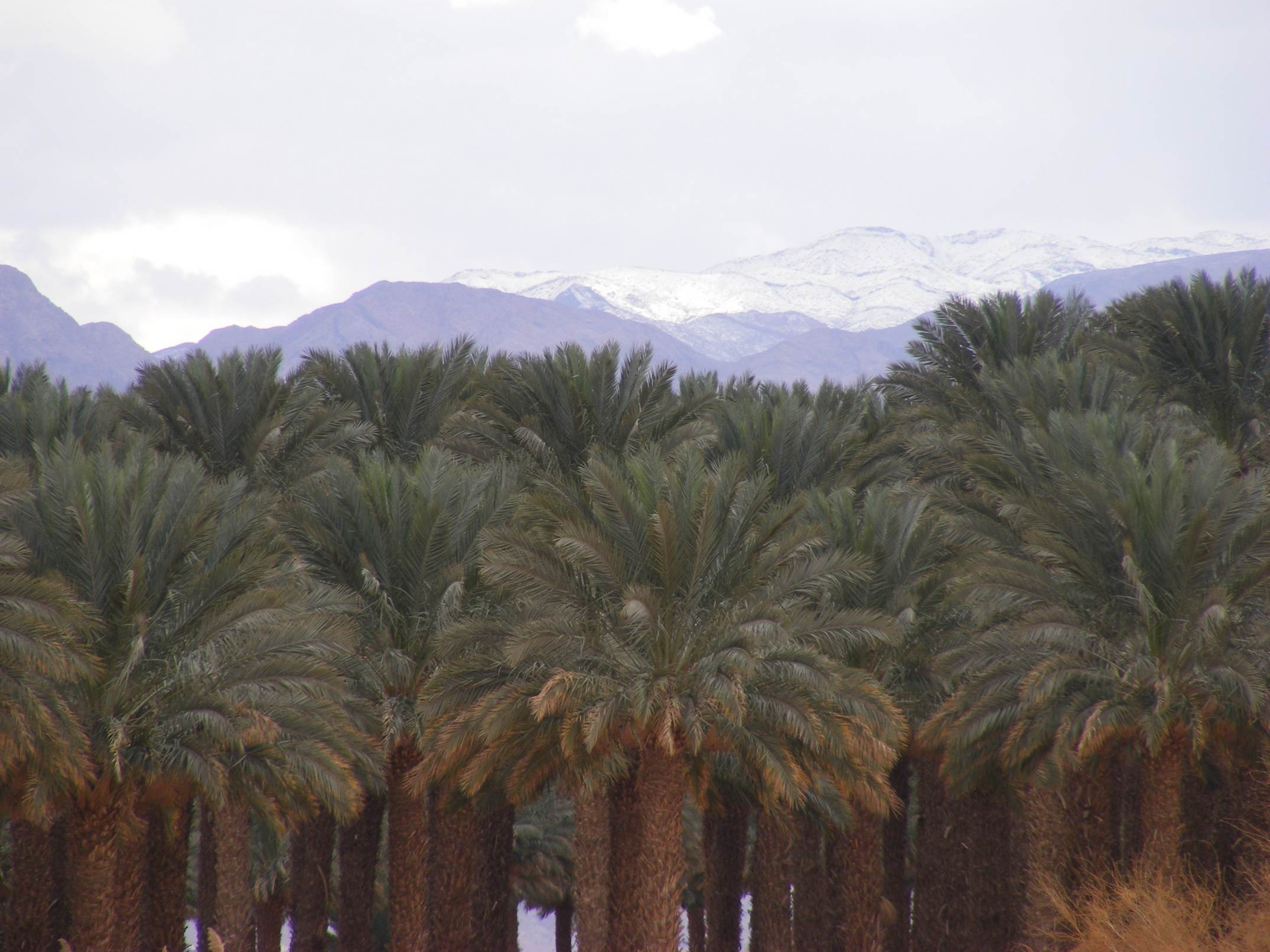 Kibbutz palm grove and snowy Edom mountains
