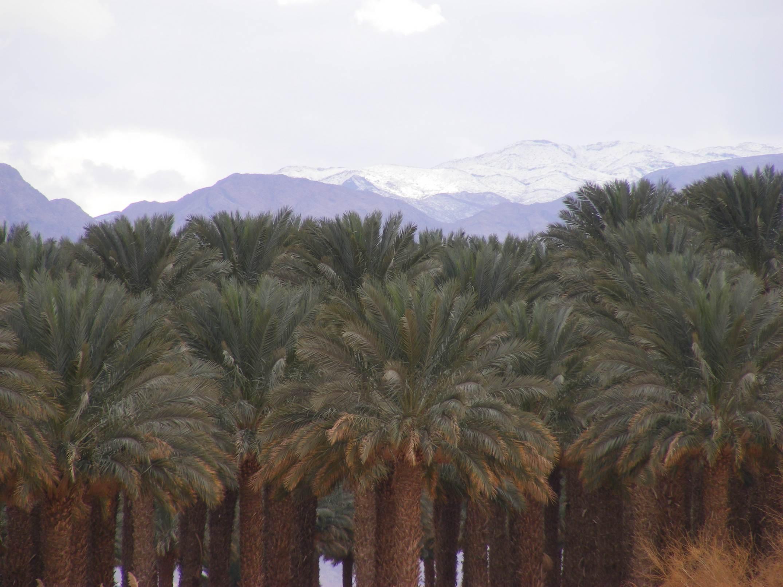 Kibbutz palm grove and snowy Edom mountains