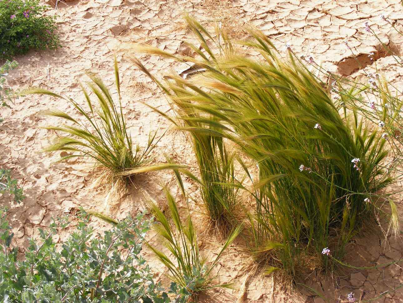 Northern grasses in Aravadesert following 2013 rains,