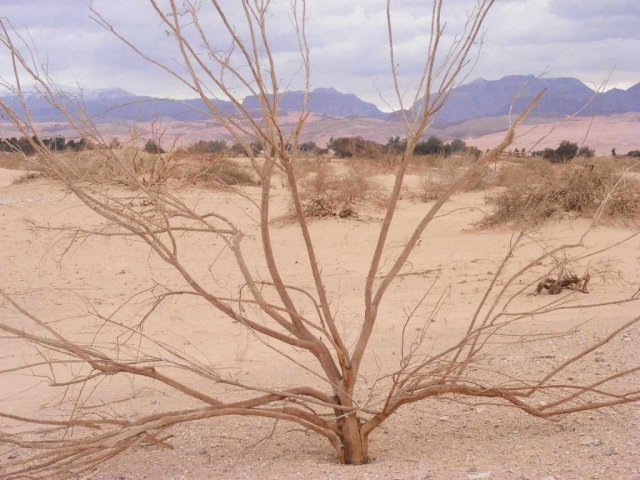 A tree in Arava Desert. Background: snowy Edom moutains