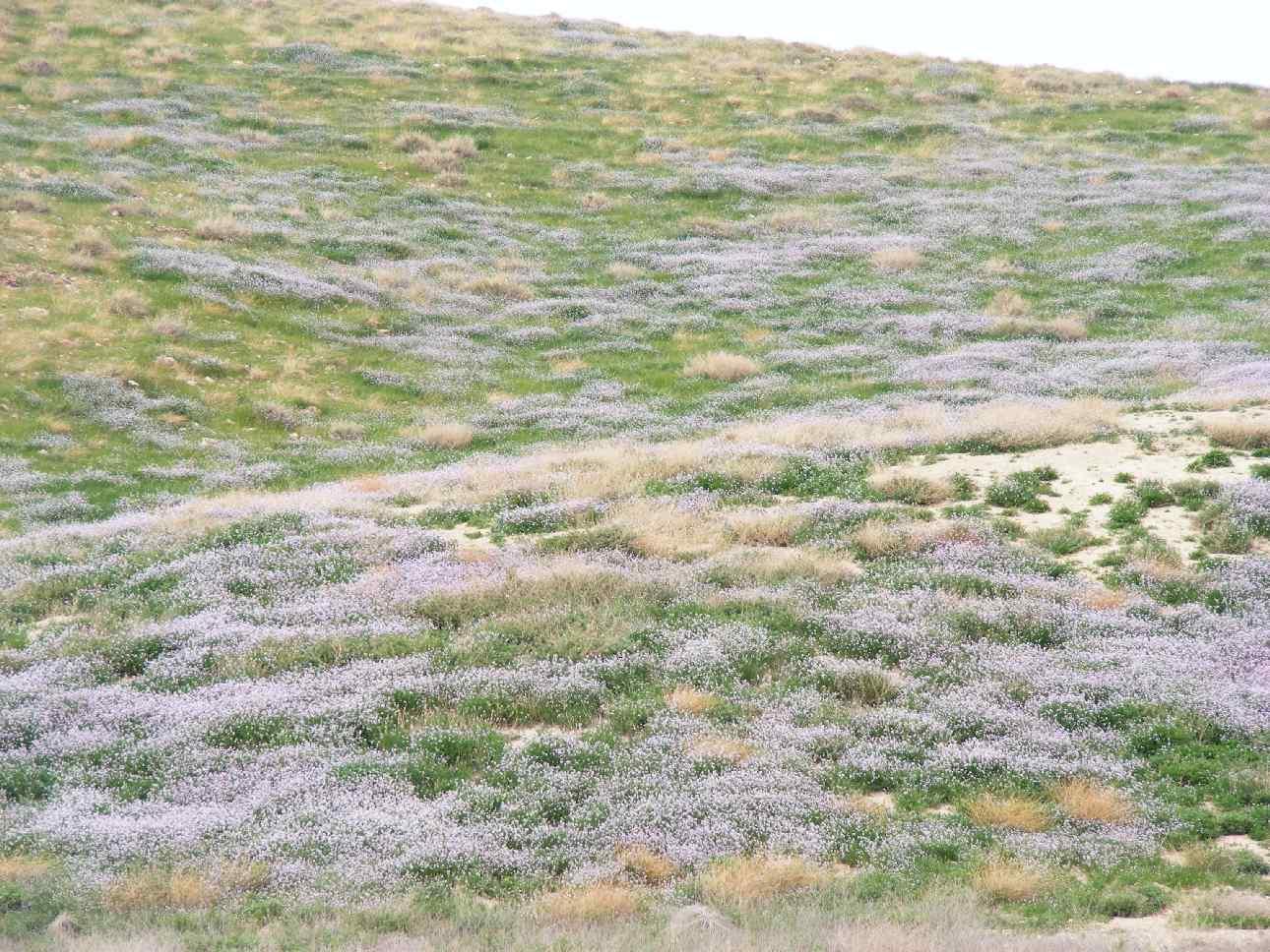 Purple carpets on hillside, Arava desert, 2013