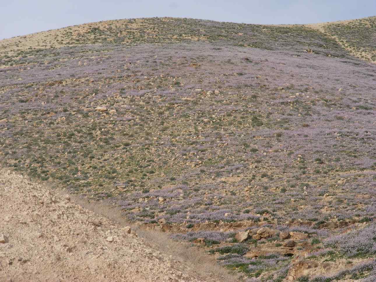 Purple desert hillside, Arava 2013