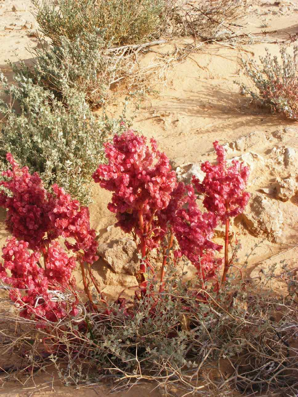 Rare red bloom in drying mud, Arava 2013