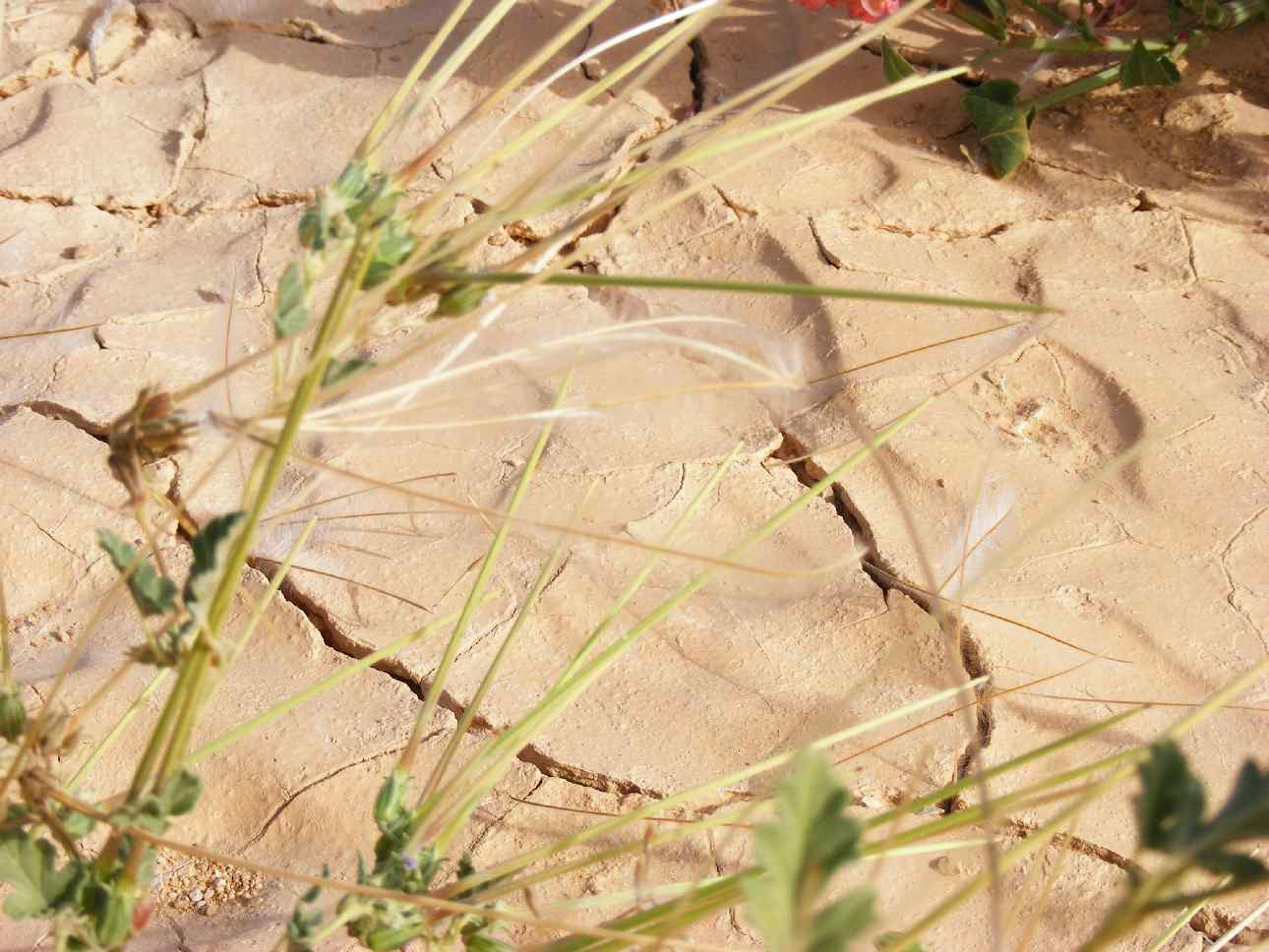 Stork's bill with seeds in Arava desert post floods, 2013