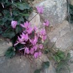 Cyclamens bloom in late winter early spring