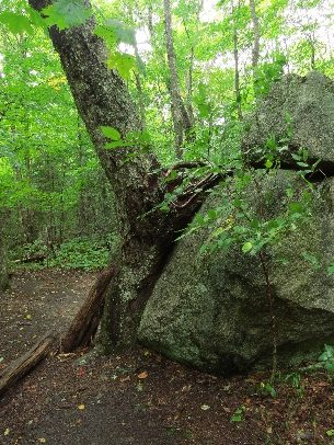 Tree and boulder on the Greeley Pond Trail, White Mountains, NH
