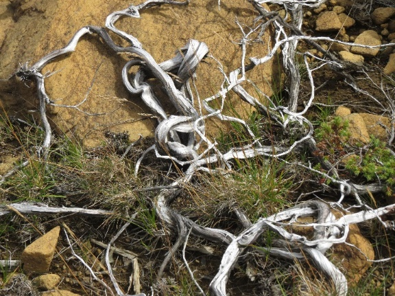 Tundra trees send roots for anchor, The Tablelands, Newfoundland, Canada