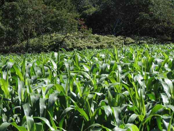 Super intensive corn cultivation for animal feed. Vermont.