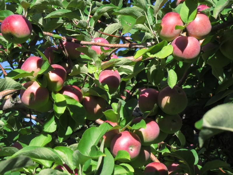 Apples galore, Hacket Farms, South Hero, VT