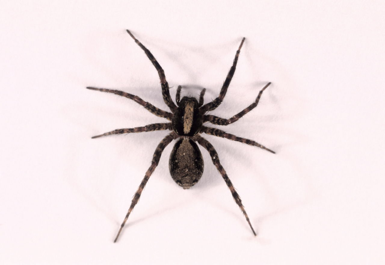 Wolf Spiders And Buddhist Compassion