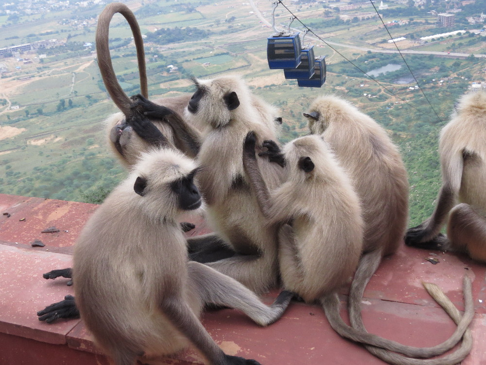 Black-faced monkeys playing with their tails, Savitry Mountain, Pushkar