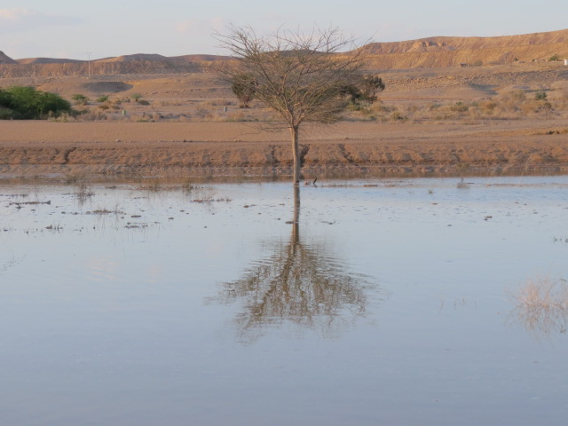 Rain pool with tree near Grofit, Southern Arava. Sept 2014