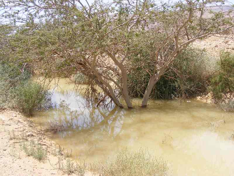 Now I am a mangrove. Submerged Arava acacia after flash rains. Nov 2013