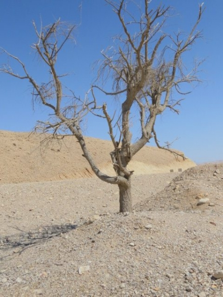 Dead acacia tree, off road 12, Arava 2014