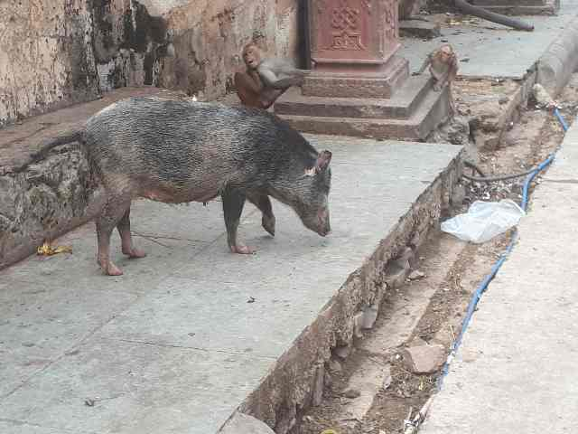 Female pig with monkeys, Monkey Temple near Jaipur, Rajasthan, India