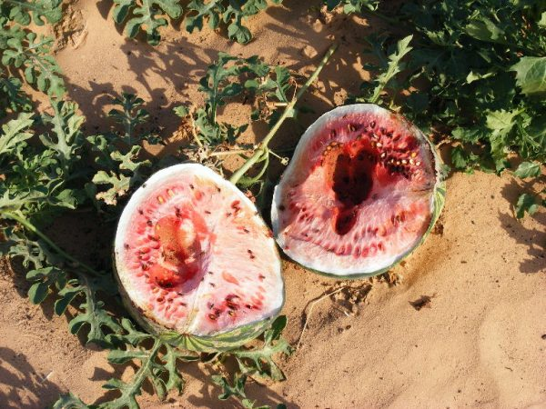 Watermelons growing in the extreme desert of the southern Arava. Grofit, Israel
