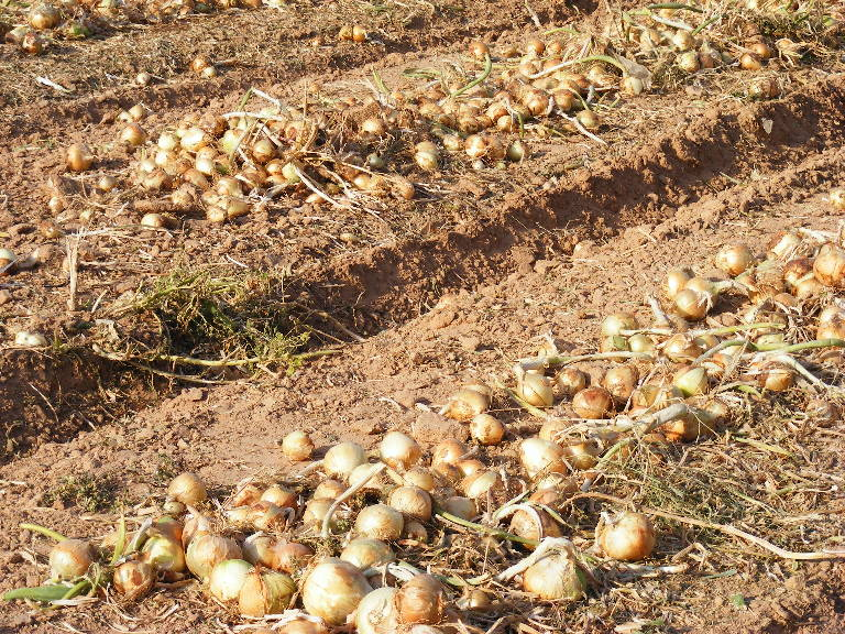 Onions harvested in the extreme desert of the southern Arava. Grofit, Israel