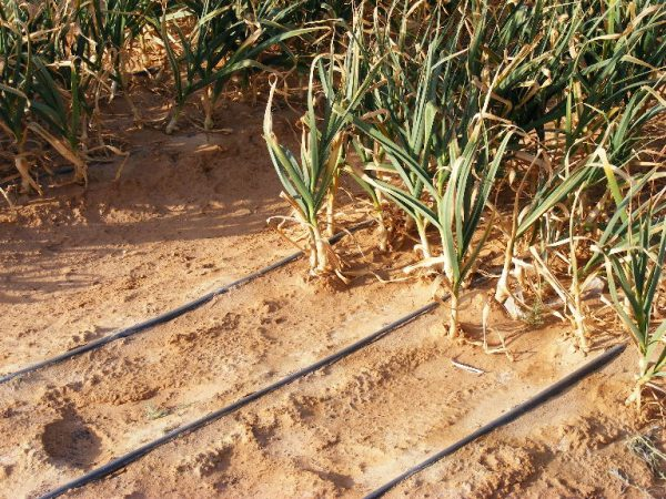 Oniond growing along drip lines in the extreme desert of the southern Arava. Grofit, Israel
