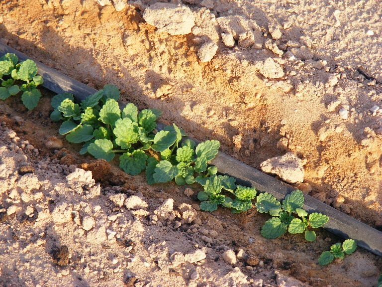 Crops grown along drip lines in the Israeli extreme Arava desert