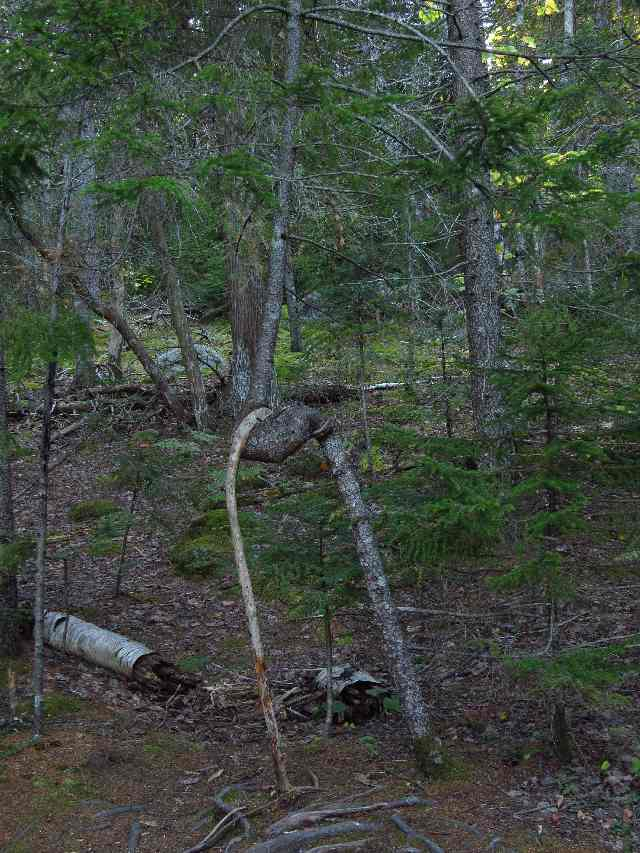 A tree on crutches. Jordan Pond, Acadia National Park, Maine